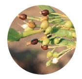 ヨクイニン(ハトムギ種子エキス)