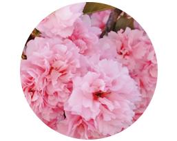 八重桜由来酵母発酵酒粕エキス