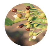 ハトムギ種子発酵液
